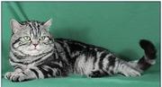 Котики и кошечки шотландской и британской породы с питомника!